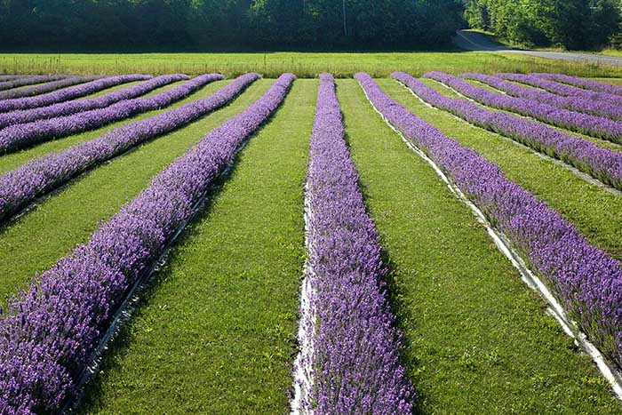 Fragrant Isle Lavender Farm & Shop