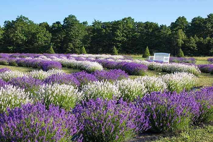 Fragrant Isle Lavender Farm, Shop & Bistro (1)