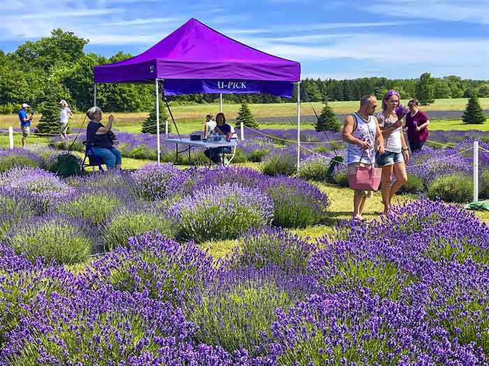 Fragrant Isle Lavender Farm, Shop & Bistro
