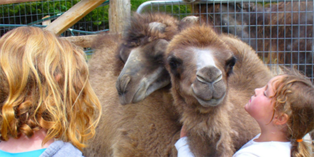 Stoneboat Farms Camelids